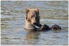 Приглашение волонтеров для исследования медведей.